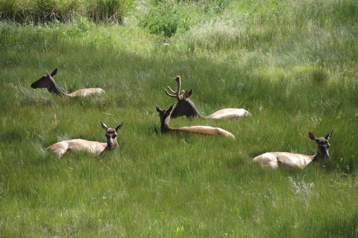 Elk settled for night